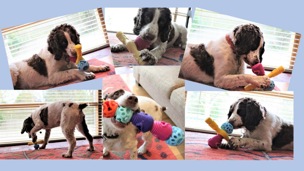 Abby testing the K9 Connectable Interactive Dog Toys